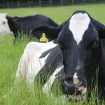 Ferne Animal Sanctuary Star the cow