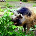 Ferne Animal Sanctuary Pig Eating a bush