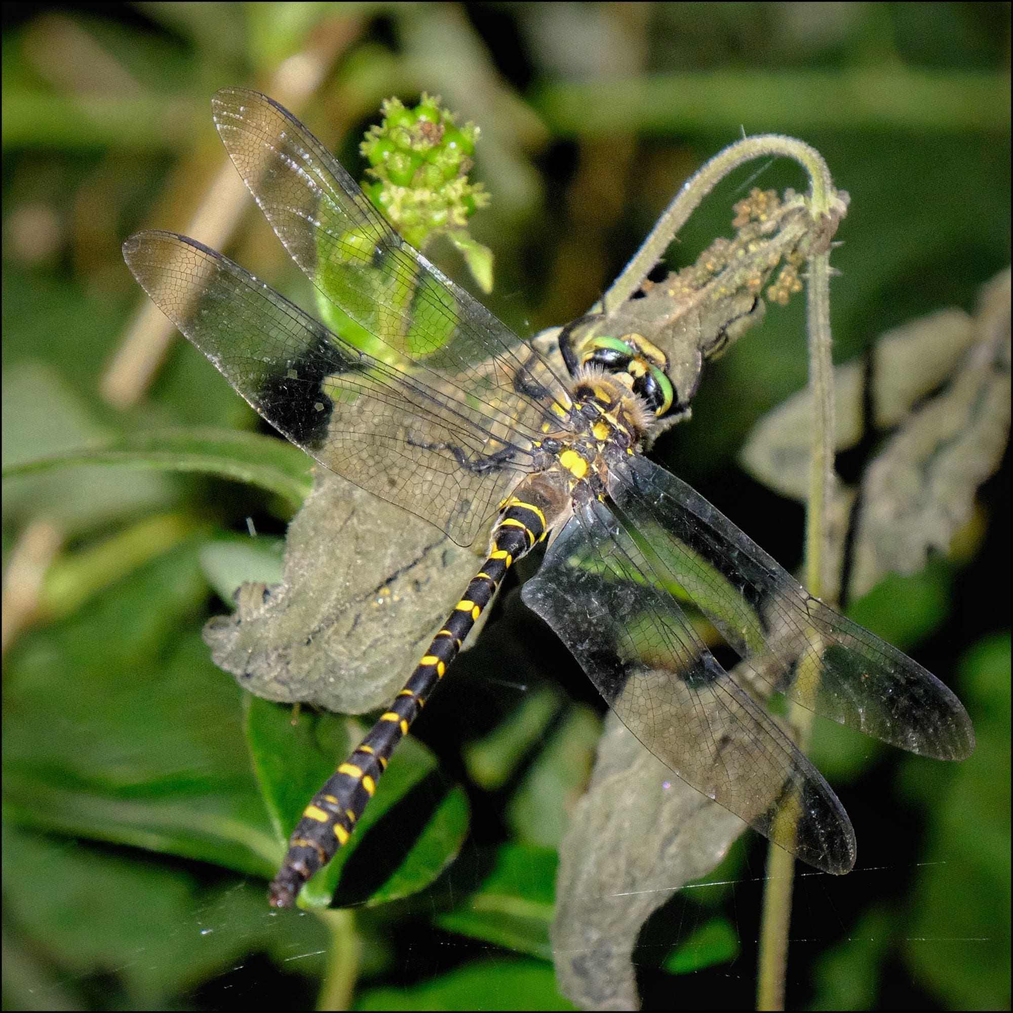 Golden Ringed Dragonfly - a rare visitor to Ferne (Lycia Moore)