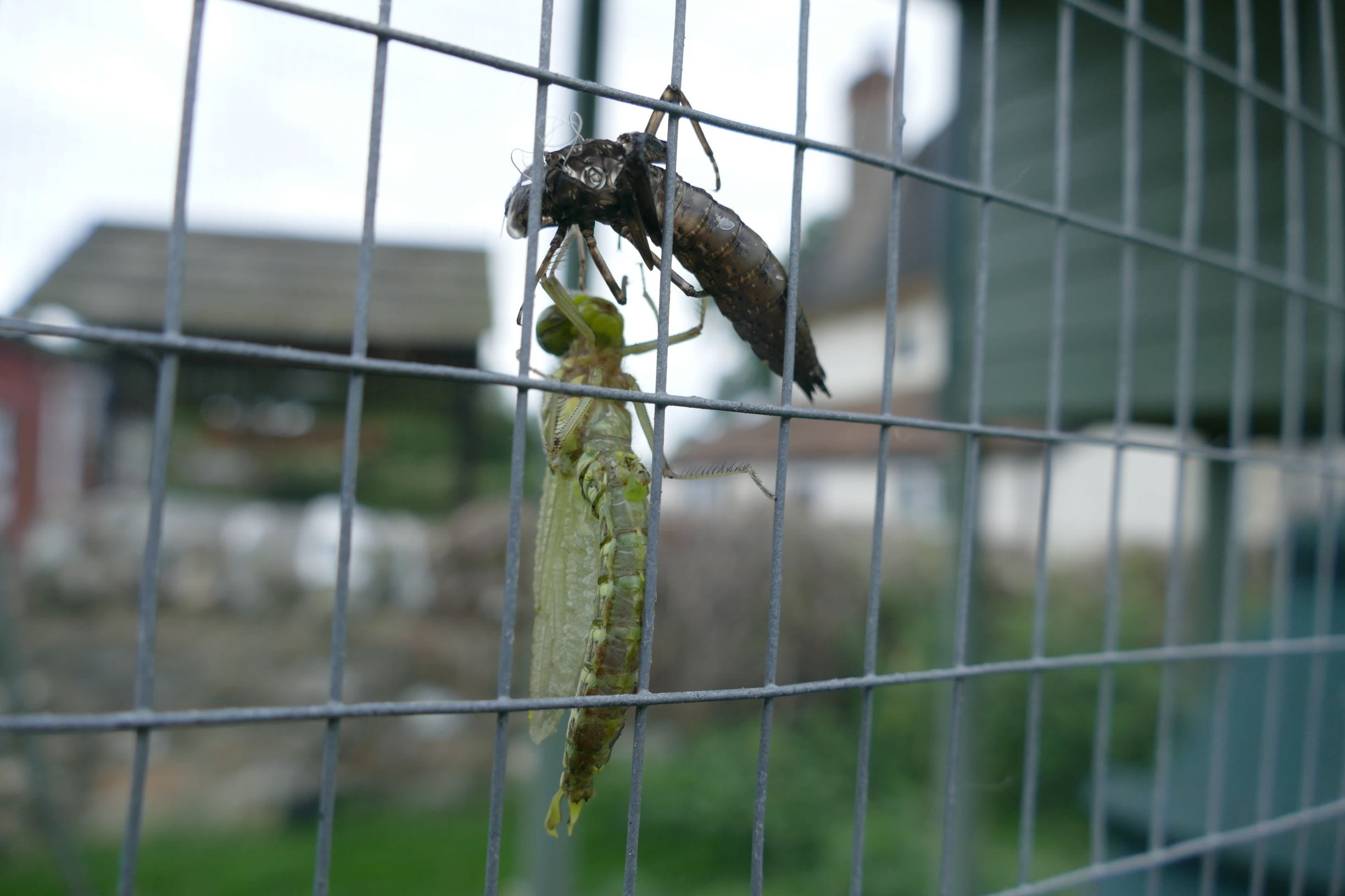 Dragonfly On Chicken Coop Hanging On To Exuvia with Ferne Cafe In Background